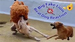 Big Fake Lion Vs Dog Must Watch Funny Video Just For Fun Try Not To Laugh Challenge 2021 Dog Comedy