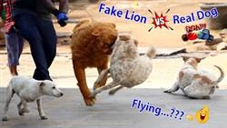 Must Watch Funny Video Fake Lion Dog Prank Just For Fun Try Not To Laugh Dog Funny Reaction 2021